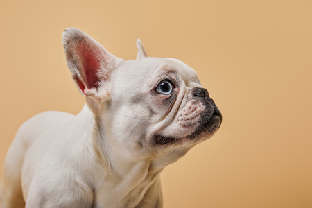 french bulldog with cute muzzle on beige background Stock Photo