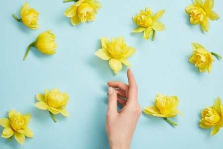 top view of female hand and yellow narcissus flowers on blue background