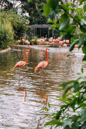 couple of beautiful pink flamingo staying in zoo pond and group of flamingos on shore, barcelona, spain