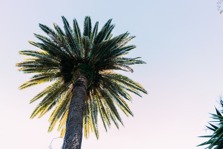 straight tall palm tree on blue sky background, barcelona, spain Archivio Fotografico - 118990516