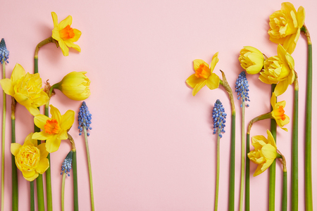 top view of beautiful blue hyacinths and yellow daffodils on pink background with copy space Stockfoto
