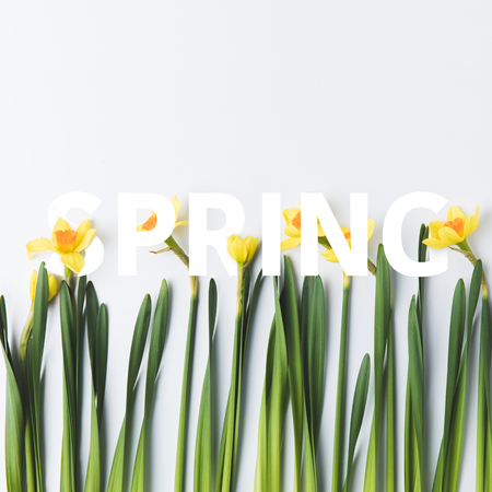 beautiful narcissus and paper cut lettering spring on white background Stok Fotoğraf