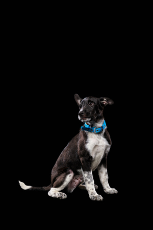 adorable dark mongrel dog in blue collar isolated on black Stock Photo