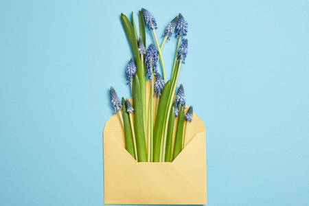 top view of beautiful blue hyacinths in yellow envelope on blue