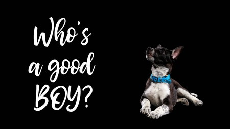 dark mongrel dog in blue collar and lettering whos good boy isolated on black