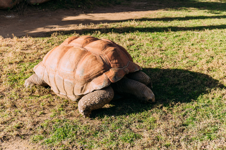 giant turtle eating grass in zoological park, barcelona, spain