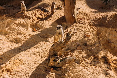 couple of funny suricates in zoological park, barcelona, spain