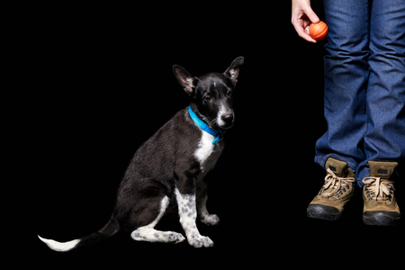 cropped view of woman standing with orange ball near mongrel dog in blue collar isolated on black