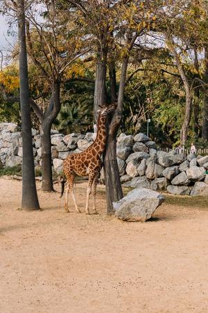 funny giraffe walking between trees in zoological park, barcelona, spain Фото со стока