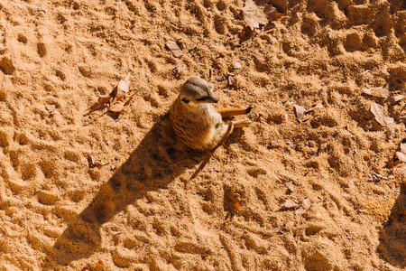 funny suricate sitting on sand on sunlight in zoo, barcelona, spain Stock Photo