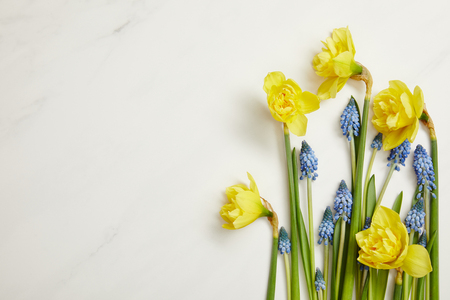 top view of beautiful yellow daffodils and blue hyacinths on white background