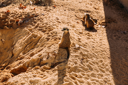 funny suricates sittiing on sunlight in zoo, barcelona, spain
