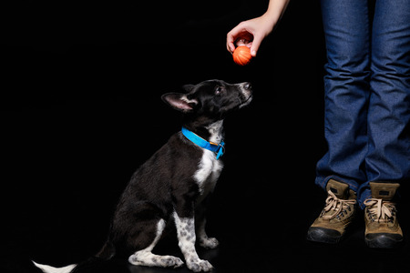 cropped view of woman holding orange ball over mongrel dog in blue collar isolated on black Stock Photo