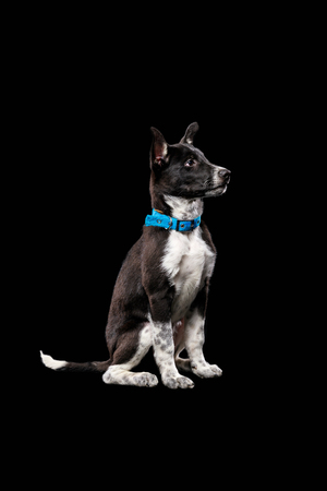 pooch cute dog with white paws in blue collar isolated on black