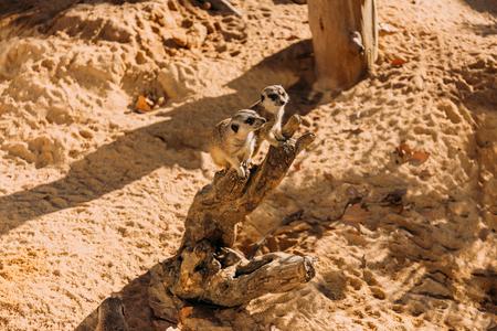 couple of funny suricates sitting on dry tree trunk in zoo, barcelona, spain Reklamní fotografie