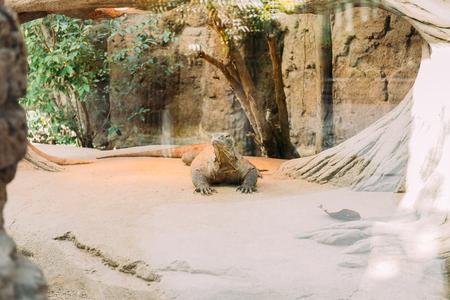 varan in terrarium lazing on sunlight, barcelona, spain