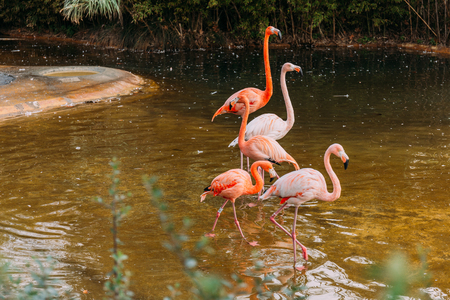 flamingos walking in pond in zoological park, barcelona, spain