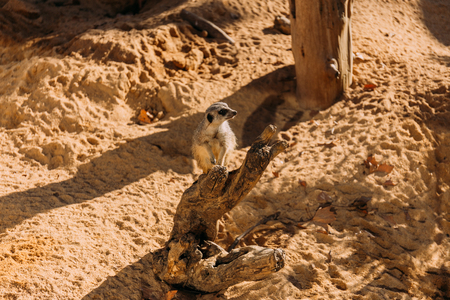 funny suricate in zoological park, barcelona, spain