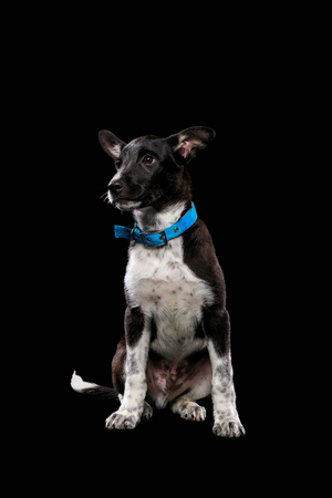 dark mongrel dog with blue collar isolated on black Stock fotó