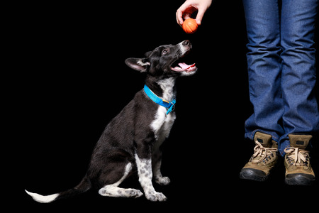cropped view of woman holding orange ball over mongrel dog in blue collar with open mouth isolated on black Stock Photo