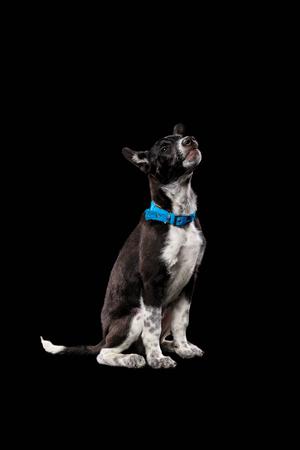 pooch dark dog in blue collar isolated on black Reklamní fotografie