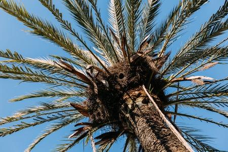tall green palm tree on clear blue sky background, barcelona, spain Archivio Fotografico - 118997944