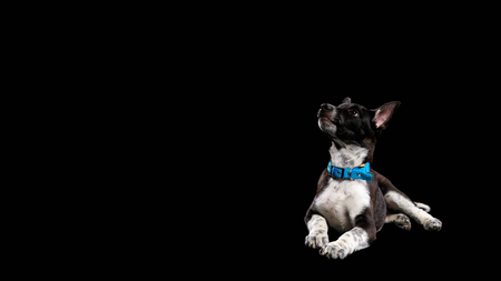 pooch dark dog with white paws in collar isolated on black Stock Photo