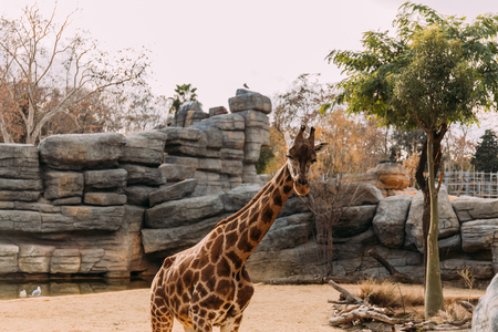 funny giraffe walking in zoological park, barcelona, spain