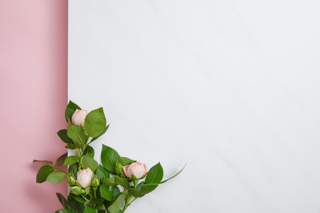 top view of white roses with green leaves on pink and white background