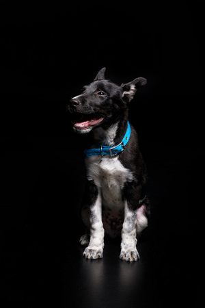 dog in blue collar with open mouth isolated on black