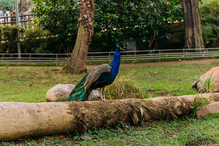 beautiful peafowl on tree trunk in zoological park, barcelona, spain Stock Photo