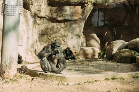 chimpanzees sitting on sun in zoological park, barcelona, spain