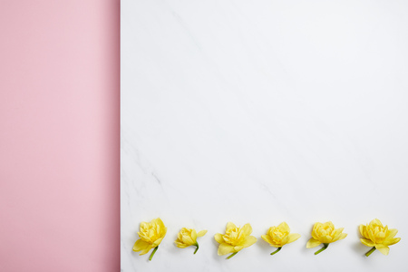 flat lay of yellow narcissus flowers arranged in horizontal line on divided pink and white background
