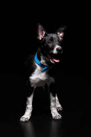 mongrel dog in blue collar isolated on black