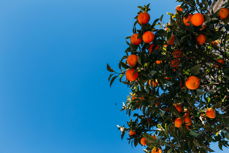 green orange tree branches with oranges, barcelona, spain