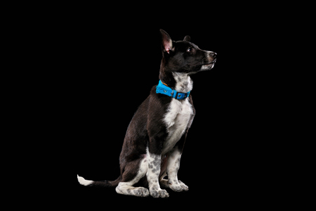 pooch dark dog in blue collar isolated on black Stock Photo
