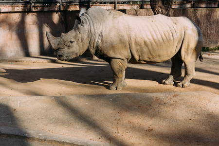 grey rino in zoological park,  barcelona, spain