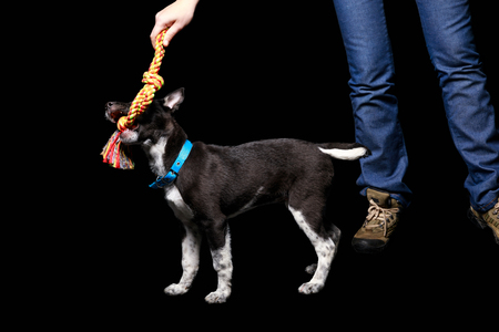 cropped view of woman holding toy and playing with mongrel dog in blue collar isolated on black