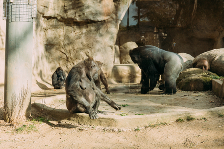 chimps and gorilla in zoological park, barcelona, spain Standard-Bild - 119350790