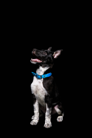 cute mongrel dog in blue collar with open mouth isolated on black