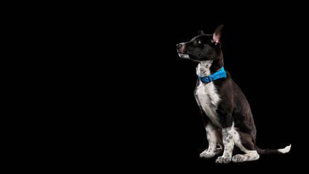 pooch dog in blue collar isolated on black 版權商用圖片