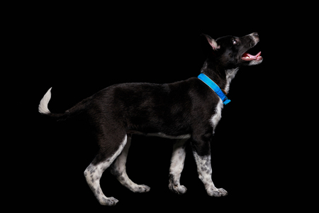 mongrel dark dog in blue collar with open mouth isolated on black Stock fotó