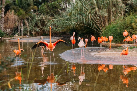 flock of beautiful flamingos in pond surrounded with lush plants in zoo, barcelona, spain Фото со стока