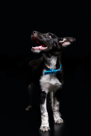 cute dog in blue collar with open mouth isolated on black
