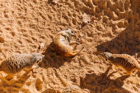 funny suricates lazing on warn sand in zoo, barcelona, spain