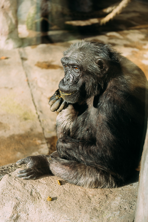 funny chimp sitting on stone in zoological park, barcelona, spain