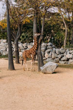 giraffe walking between trees in zoological park, barcelona, spain