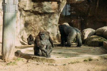 chimpanzees and gorilla in zoological park, barcelona, spain