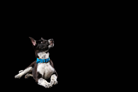mongrel dark dog with white paws in collar isolated on black