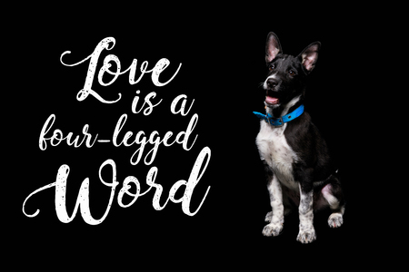 dark mongrel dog in blue collar near lettering love is a four-legged word isolated on black 版權商用圖片